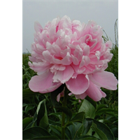 Peony Mons Jules Elies (3 bulbs per pkg - Ships Oct thru Jan)