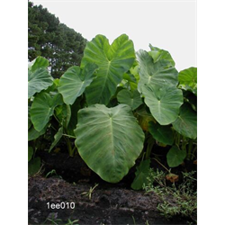 Colocasia esculenta (3 bulbs per pkg - Ships March thru June)