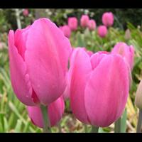 Tulip Triumph Don Quichotte (10 bulbs per pkg - Ships Oct thru Jan)