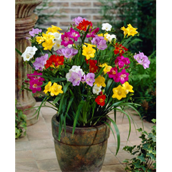 Freesia Single Mixed (25 bulbs per pkg - Ships Oct thru June)