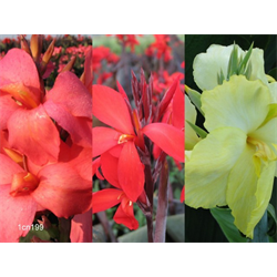 Canna Dwarf Collection (15 plants per collection - Ships March thru June)