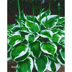 Hosta 'Minuteman' (5 plants per pkg - Ships Oct thru June)