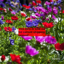 *SOLD OUT* Anemone coronaria De Caen Mixture (25 bulbs / pkg - Ships Oct-June)