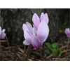 Additional images for Cyclamen hederifolium (3 bulbs per pkg - Ship Oct thru Jan)