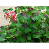 Additional images for Oxalis tetraphylla - Iron Cross (10 bulbs per pkg - Ships Oct thru June)