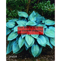 *FALL 2020* Hosta 'Halcyon' (5 plants per pkg - Ships Oct thru June)