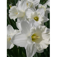 Daffodil Trumpet Mount Hood (10 bulbs per pkg - Ships Oct thru Jan)
