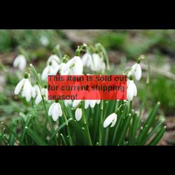 *SOLD OUT* Galanthus nivalis (10 bulbs per pkg - Ships Oct thru Jan)