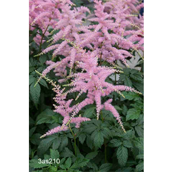 Astilbe Lilac (3 bulbs per pkg - Ships Oct thru June)