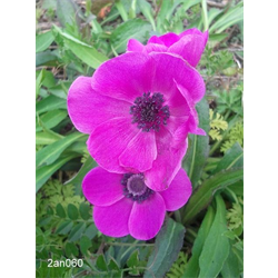 Anemone coronaria Sylphide (25 bulbs/pkg - Ships Oct thru June)