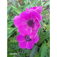 Anemone coronaria Sylphide (25 bulbs per pkg - Ships Oct thru June)