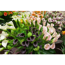 Zantedeschia Mixed (3 bulbs per pkg - Ships March thru June)