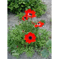 Anemone coronaria Hollandia (25 bulbs per pkg - Ships Oct thru June)