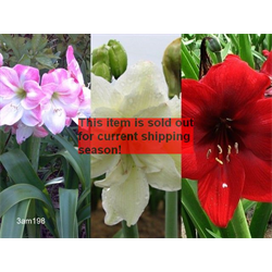 *SOLD OUT* Amaryllis Garden Collection  (6 bulbs per collection - Ships March t