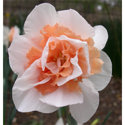 Daffodil Double Replete (10 bulbs per pkg - Ships Oct thru Jan)