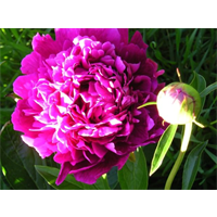 Peony Felix Supreme (3 bulbs per pkg - Ships Oct thru Jan)