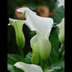Zantedeschia White (3 bulbs per pkg - Ships March thru June)