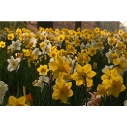 Daffodil bulk Naturalizing Mix (½ BU - Ships Oct thru Jan)