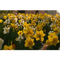 Daffodil bulk Naturalizing Mix (½ BU - Ships Oct thru Jan)