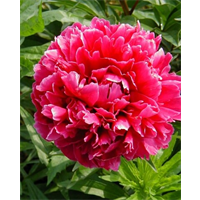 Peony Clump Karl Rosenfield (Ships Oct thru Jan)