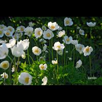 Anemone coronaria The Bride (25 bulbs per pkg - Ships Oct thru June)