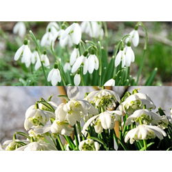 Galanthus Collection (60 bulbs per collection - Ships Oct thru Jan)