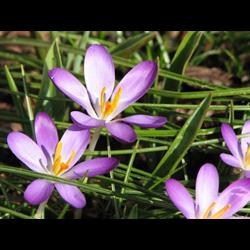 Crocus tommasinianus 'Whitewell Purple' (25 bulbs per pkg ships Oct thru Jan)