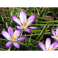 Crocus tommasinianus 'Whitewell Purple' (25 bulbs per pkg ships Oct thru Jan)