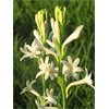 Additional images for Tuberose Single 'Mexican Single' (5 bulbs per pkg - Ships March