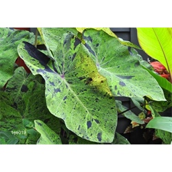 Colocasia esculenta Mojito® (3 bulbs per pkg - Ships March thru June)