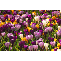 Crocus vernus Mixed (25 bulbs per pkg - Ships Oct thru Jan)