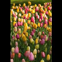 Tulip Single Late Mixture (10 bulbs per pkg - Ships Oct thru Jan)