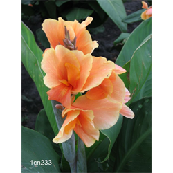 Canna Dwarf Tropical Sunrise (5 bulbs per pkg - Ships March thru Ju
