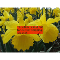 *SOLD OUT* Daffodil Trumpet Counsellor (10 bulbs per pkg - Ships Oct thru Jan)