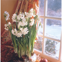 Narcissus Paperwhite Ziva (10 bulbs per pkg - Ships Oct thru Jan)