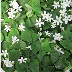 Oxalis regnellii (10 bulbs per pkg - Ships Oct thru June)