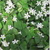 Additional images for Oxalis regnellii (10 bulbs per pkg - Ships Oct thru June)
