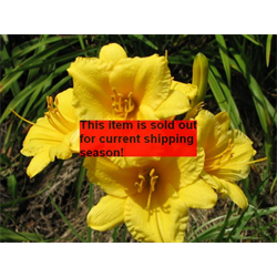 Daylily Stella De Oro (5 plants per pkg - Ships Oct thru June)