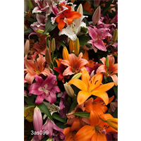 Lily Asiatic Mixed (5 bulbs per pkg - Ships Oct thru June)