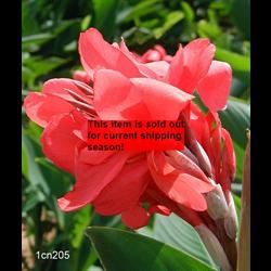 *SOLD OUT* Canna Giant Crimson Beauty (5 bulbs per pkg - Ships March thru June)