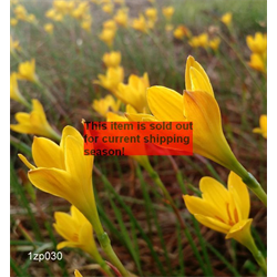 *SOLD OUT* Zephyranthes citrina (25 bulbs per pkg - Ships