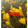 Additional images for *SOLD OUT* Zephyranthes citrina (25 bulbs per pkg - Ships