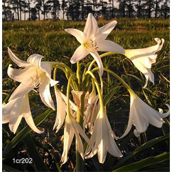 Crinum x Powellii 'Album' (1 bulb per pkg - Ships March thru June)