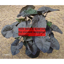 Colocasia esculenta dwarf Kona Coffee® (3 bulbs per pkg - Ships March thru June)