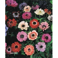 Anemone coronaria St. Brigid Mixture (25 bulbs per pkg - Ships Oct thru June)