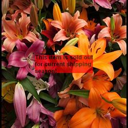 *SOLD OUT* Lily bulk Asiatic Mixed (½ BU - Ships Oct thru June)