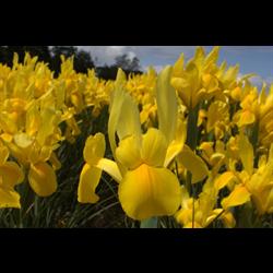 Dutch Iris Golden Giant (10 bulbs per pkg - Ships Oct thru Jan)