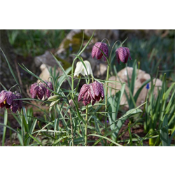 Fritillaria meleagris (10 bulbs per pkg - Ships Oct thru Jan)