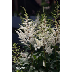 Astilbe White (3 bulbs per pkg - Ships Oct thru June)