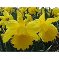 Daffodil Trumpet Counsellor (10 bulbs per pkg - Ships Oct thru Jan)